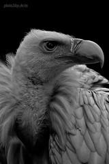 Schneegeier / Himalayan griffon vulture / Gyps himalayensis (AchimSchmidt) Tags: portrait blackandwhite bw bird blancoynegro monochrome blackwhite nb vulture schwarzweiss himalayan vogel griffon geier noireetblanc greifvogel noretblanc tambach gypshimalayensis schneegeier himalayanvulture bayerischerjagdfalkenhof