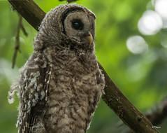 Baby Barred Owl (T0nyJ0yce) Tags: wild baby cute nature birds wildlife raptor owl westcoast pnw fledgling birdofprey barredowl owlet tamron150600