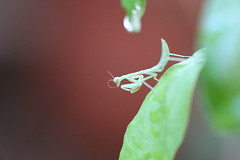 Praying Mantis in the Patio (Pisces With Camera) Tags: 100mm prayingmantis ef100mm