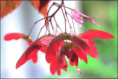 Disamara del mio acero (ninin 50) Tags: nature acero ninin ilmiogiardino disamara