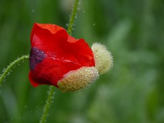 The birth of a poppy (joeke pieters) Tags: 1270650 panasonicdmcfz150 klaproos papaver poppy klatschmohn pavot bloem flower wildflower druppels drops droplets bokeh platinumheartaward ngc npc
