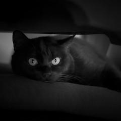 Panther under my table (CarSaBe) Tags: pet white black eye face animal cat square table lumix eyes chat gesicht gato whisker katze augen tisch panther gatto auge haustier schwarz tier kissen weis pilllow barthaare