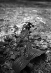 Wild Lady Slipper (SnapSnare) Tags: wild white black lady canon flora brook amethyst mass amherst slipper