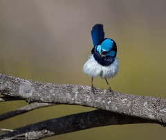 A superb with a song... (Mykel46) Tags: blue nature birds canon superb au australia fairy wren southaustralia milang 500mmf4 14xtele 1dxmk2