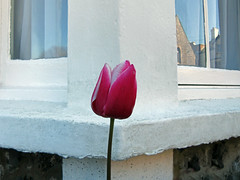 q_s (maximorgana) Tags: pink flower window corner tulip broadstairs quasesimetrico