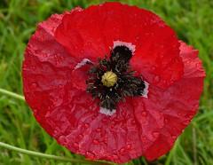 I am very red and very wet (joeke pieters) Tags: 1280008 panasonicdmcfz150 klaproos poppy klatschmohn wildflower bloem flower rood red druppels drops droplets