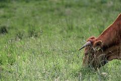dinner (robert.molinarius) Tags: dinner cow gras molinarius