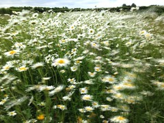 06-19-Jane (Jane Poate) Tags: flowers meadows wildflower oxeyedaisy 366project iphoneography slowshutterapp