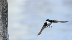 622 (3) Query (srypstra) Tags: tree swallow flight
