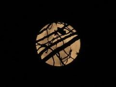 moon through a tree (peet-astn) Tags: moon luna tree albero winter 2016 june southafrica