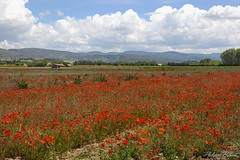 Poppy fields. Luberon, Provence. (Philippe Basset) Tags: poppy coquelicots champs fields provence luberon flowers vaucluse nature