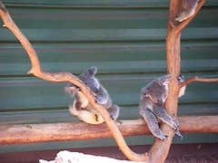 Two Koalas video, Lone Pine Sanctuary, Brisbane, Australia (rossendale2016) Tags: animal holding slowly moving movesble photogenic fur grey furry paws claws branch resting sleepy tired cuddly animals cute sat clutching tree awake asleep sanctuary koala pine lone australia brisbane video audio