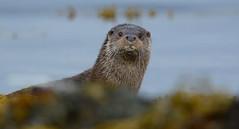 Quizzical (nick edge) Tags: nature mammal scotland nikon innerhebrides wildlife otter isleofmull mull otters mustelid naturephotography scottishislands wildlifephotography scottishwildlife lutralutra europeanotter nikon300mmf4afs britishmammals nikond7100 mullotter