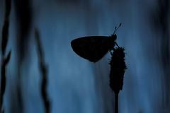 Midsummer Night's Dream - Songe d'une nuit (Sbastien Vermande) Tags: france macro butterfly insect spring bokeh lot papillon mariposa printemps farfalla insecte macrolens macrophotography midipyrnes macrophotographie insectmacro sigma150 canon7d sigmaapoteleconverter14xexdg vermande