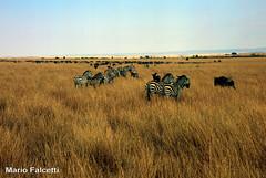 Kenya: Masai Mara National Reserve: wildebeest and zebras (mariofalcetti) Tags: animals landscape kenya zebra animali gnu paesaggio wildebeest masaimara zebre