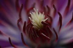Clematis #3 (Kurtsview) Tags: summer plant flower macro dof purple blossom outdoor clematis vine depthoffield stamen cannon 70d