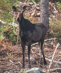 Spring Bull Moose (TofteTom) Tags: nature minnesota wildlife moose northshore northwoods wildlifephotography alcesalces minnesotamoose