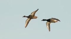 Racing By in the Light (ken.krach (kjkmep)) Tags: ducks