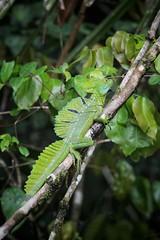 Basilisco verde (Sinisa78) Tags: green costarica reptile lizard tortuguero basilisco lucertola rettile basilisk tortugueronationalpark