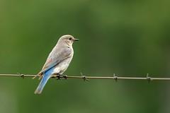 DSC_7129 (albro11) Tags: bluebird