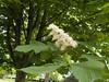 DSCN2070 (Rumskedi) Tags: flore monde europe belgique ndda marronnier ndda14052016