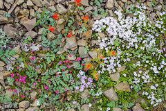 20160601_HurricaneRidge114.jpg (tjludwick) Tags: flower us washington flickr unitedstates portangeles alpine hurricaneridge olympicnp