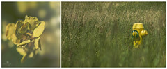 53.646657 by -113.418326 (rockinmonique) Tags: macro green yellow hydrant canon diptych soft bokeh grasses tamron unexpected feild 52in52 moniquew