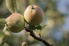 Fruit is beautiful in the branch (oskaybatur) Tags: summer apple nature fruit turkey pentax trkiye july mf elma ricoh manualfocus 2016 turkei temmuz justpentax pentaxart pentaxk3 oskaybatur samyang100macro