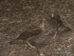 Feeding time in the Wind & Rain5 (Gareth Lovering Photography 3,000,594 views.) Tags: birds garden feeding wildlife feeder starling olympus sparrow 75300mm lovering em1 garethloveringphotography