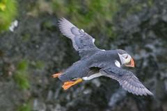 Un macareux volant contre le vent (Île de Staffa)