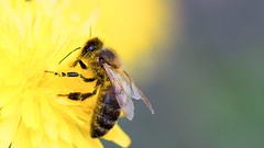 Bee (yvan642) Tags: wild canon7d insecte abeilles eos7dmarkii 100mmf28 macro 7d yellow canon insect bee