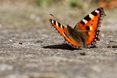 Schmetterling (thomasgerhard) Tags: schmetterling kleiner fuchs butterfly small tortoiseshell