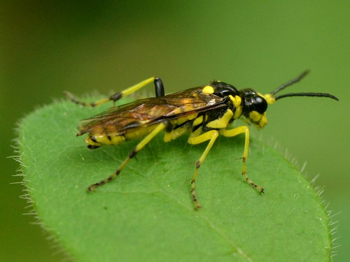 Beautiful little Wasp (Hymenoptera) - maybe a Sawfly in the family Tenthredinidae?
