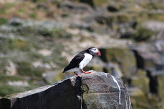 Puffin (Hairy Caterpillar) Tags: sea bird puffin farneislands innerfarne