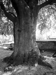 Tree (Eddy Allart) Tags: holland netherlands dutch cemetery rotterdam cementerio nederland boom rbol tronco begraafplaats blanconegro hillegersberg