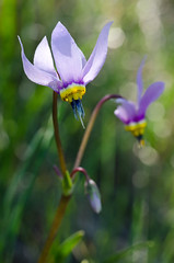 Shooting Stars (LabradorEars) Tags: flower macro montana magenta pale wildflower tamron90mm dodecatheon shootingstar primulaceae dodecatheonpulchellum missoulacounty