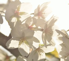 cropped blossom in sunlight (Worjohn) Tags: england sunlight nature digital john spring nikon natural image head picture seed cotswolds seeds bishops cheltenham thompson cleeve d7000 worohn