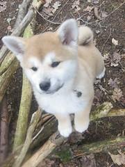 akita puppy20 (Samurai-Akita) Tags: dog 3 cute japan female puppy japanese sweet ken hund month akita inu welpe süs