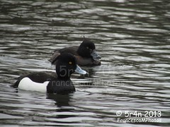 Tufted Duck (K1era) Tags: male female duck tufted rspb amberlist