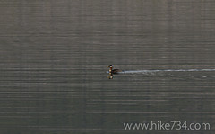 """Red-necked Grebe • <a style=""""font-size:0.8em;"""" href=""""http://www.flickr.com/photos/63501323@N07/8733240143/"""" target=""""_blank"""">View on Flickr</a>"""