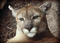 mountain lion (ThroughMyEyes_JKM) Tags: wild face animals cat mouth fur nose zoo eyes indiana fieldtrip puma cougar mountainlion washingtonparkzoo michigancityin