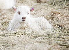 Lamb (Vally Photography!) Tags: white cute photoshop lamb canoneos550d