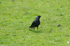 Jackdaw (Ben Wink Photography) Tags: uk england black bird photography suffolk nikon ben norfolk 28 crow carrion wink f28 vr 70200mm jackdaw d90