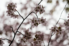 Blooming on a grey day (nemi1968) Tags: flowers trees flower tree canon bokeh ngc botanicalgarden fruittree botaniskhage markiii canon5dmarkiii ef100mmf28lmacroisusm