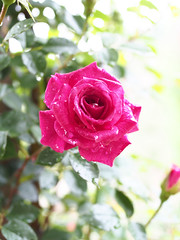 Rose, Gloriana, , , (T.Kiya) Tags: rose  gloriana  flowerfestivalcommemorativepark