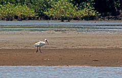 ibis on a sandbar (joybidge (back from vacation)) Tags: bird birds costarica ibis naturepatternscanada trishcanada tsmay62013