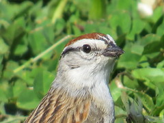 Chipping Sparrow IMG_8420 (PRS North Star) Tags: backyard sparrow sparrows chippingsparrow backyardbirds chippingsparrows