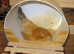 In her nest box (baalands) Tags: japanese bucket nest box poultry hen bantam