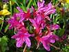 Azalee (Gartenzauber) Tags: floralfantasy thegalaxy perfectpetals thequalitygoldseal hennysgardens henny´sflowergardens