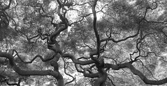 Natural Pollock (Schuyler H. Miller) Tags: blackandwhite plant tree nature japanese maple branches maryland arboretum baltimore japanesemaple cylburn cylburnarboretum